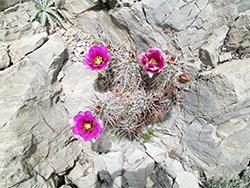 Delta Utah Cactus Flower